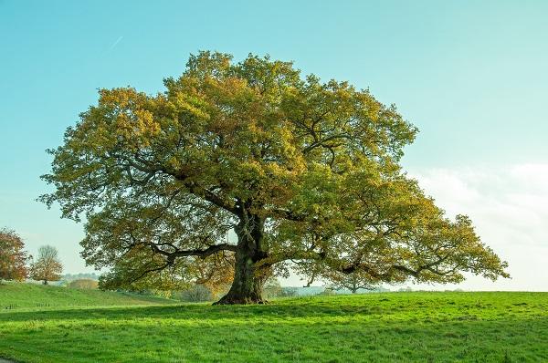 Oak tree in a field with blue sky